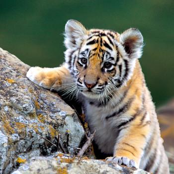 Tiger Cub Maxi Card