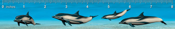 Striped Dolphin Ruler(in)