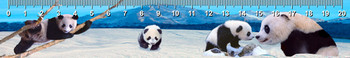 Pandas Ruler(cm)
