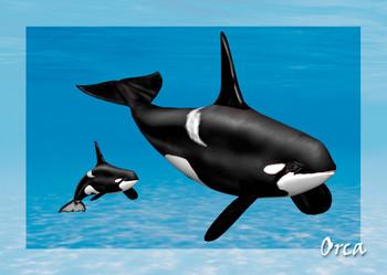 Whale Orca Postcard