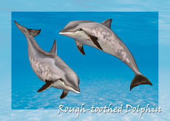 Dolphin Rough-Toothed Postcard