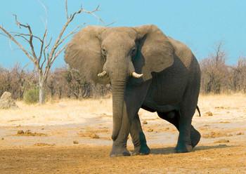 Elephant African Postcard