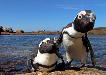 Penguin African Postcard