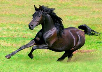 Horse Arabian Postcard