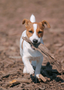 Dog, Jack Russell Terrier Postcard