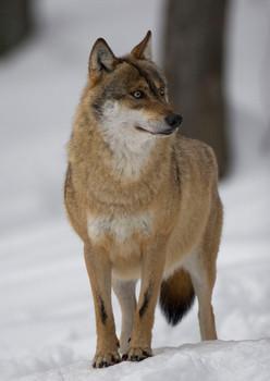 Wolf Gray Postcard