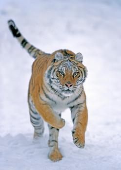 Tiger Siberian Postcard