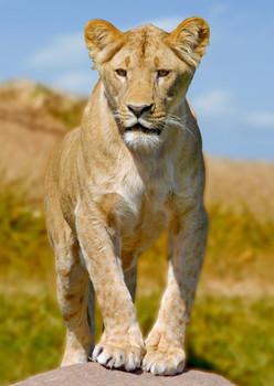 Lion Lioness Postcard