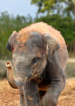Elephant African calf Postcard
