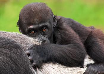 Gorilla Baby Postcard