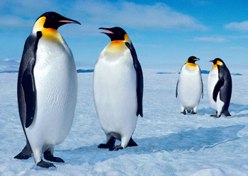 Penguin Emperor Postcard