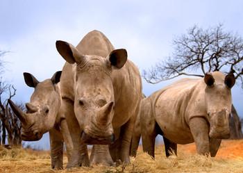 Rhinoceros in Savannah Postcard