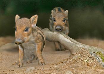 Pig wild boar piglets Postcard