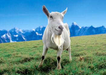 Goat Saanen Postcard