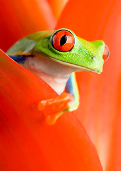 Frog, red eye tree frog Postcard