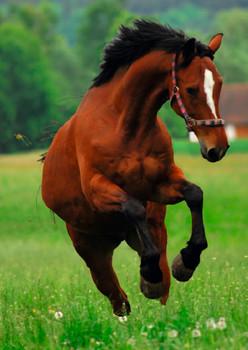 Horse Frisky Postcard