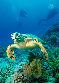 Turtle Hawksbill Postcard
