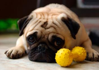 Dog, Pug Postcard