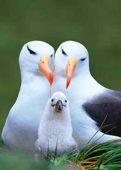 Albatross Family Postcard