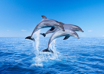 Dolphin jumping Postcard