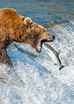 Bear Grizzly salmon Postcard