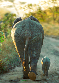 Elephant walking with calf Postcard