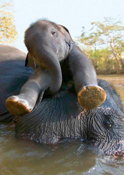 Elephant baby bath Postcard