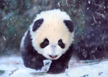 Panda cub Postcard