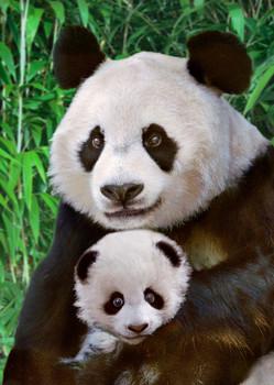 Panda mother with cub Postcard