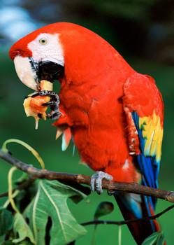 Macaw Scarlet vertical Postcard