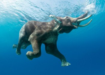Elephant swimming Postcard