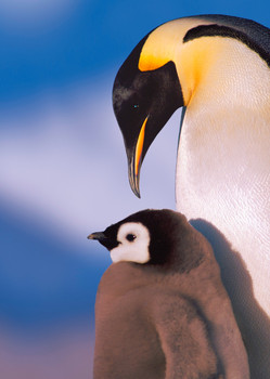 Penguin and chick Postcard