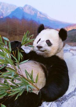 Panda relaxing Postcard