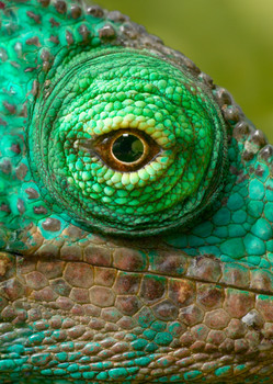 Chameleon eye Postcard
