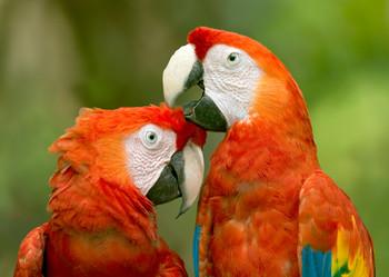 Macaw Scarlet preening Postcard