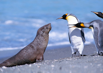 Seal and penguins Postcard