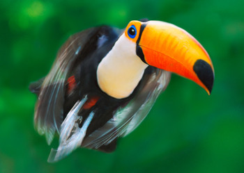 Toucan flying Postcard