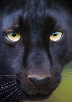 Panther face Postcard