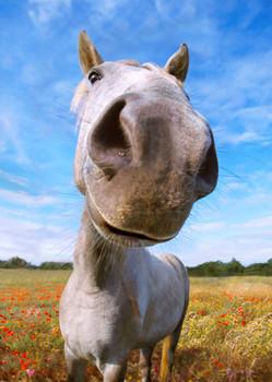 Horse Nose Postcard