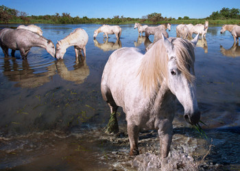 Horse Camargue Postcard