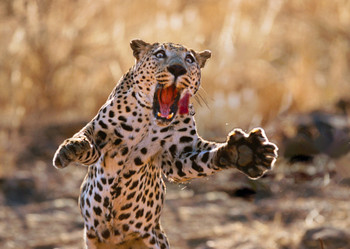 Leopard pouncing Postcard
