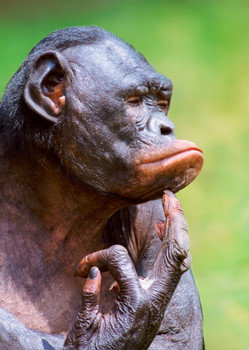 Chimp thinking Postcard