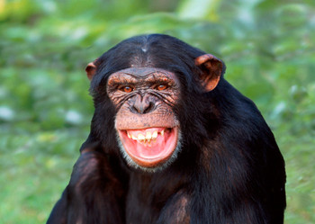 Chimp laughing Postcard