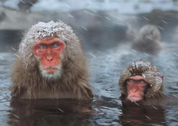 Monkey Snow bathing Postcard