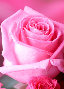 Rose 1 Postcard
