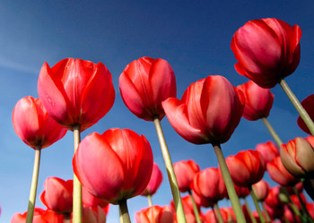 Tulips 2 Postcard