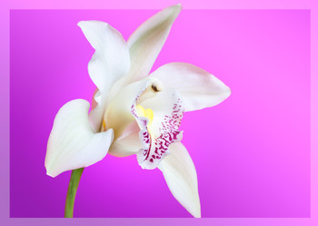 Orchid 1 Postcard