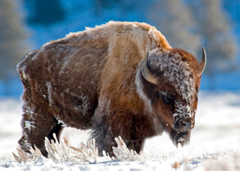 Bison in the snow - Postcard