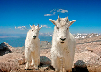 Goat, Mountain - Postcard