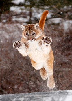 Cougar - Postcard